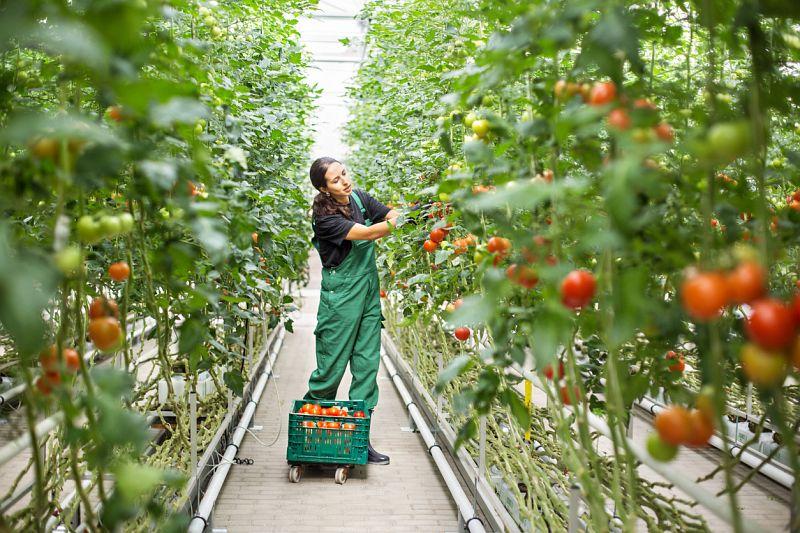 Gewächshaus: junge Frau in grüner Latzhose erntet Tomaten